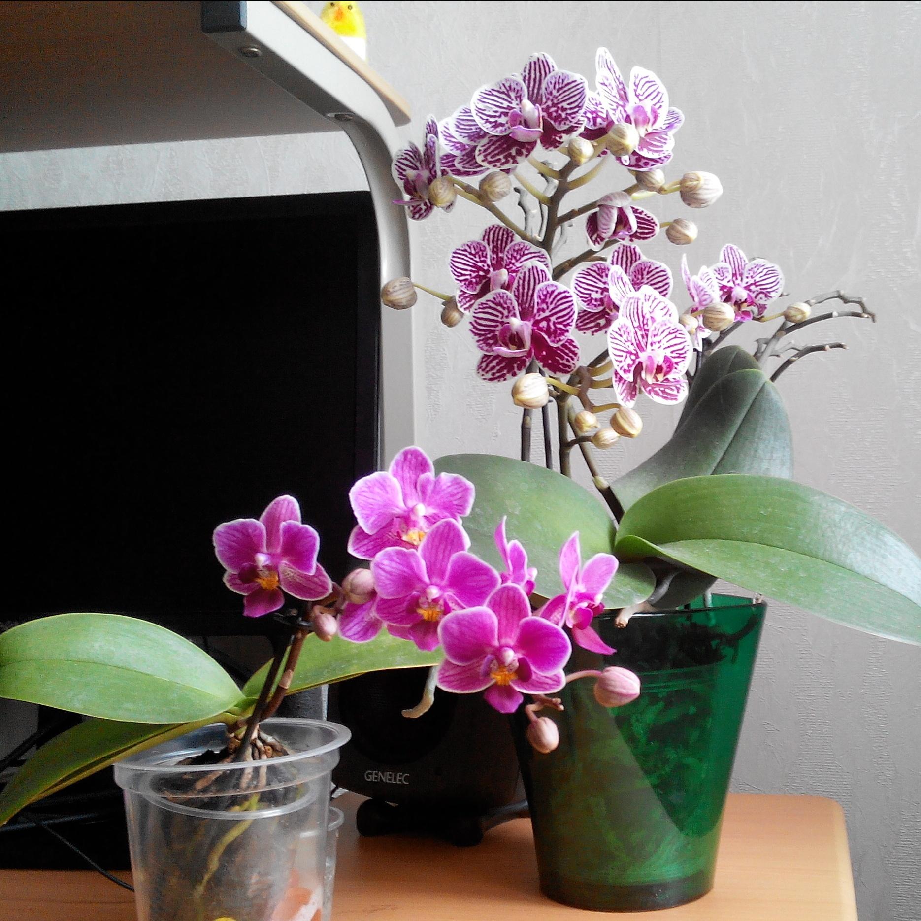 Размножение орхидей в домашних условиях из цветоносов